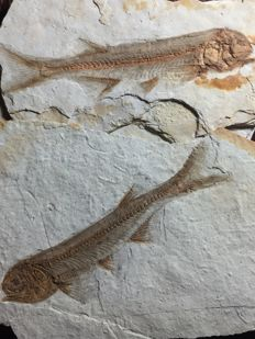 Two fish fossils - Lycoptera sp. - each plate 10 cm wide