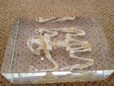 Scientific, articulated Frog skeleton, preserved in resin block, boxed - Rana temporaria - 14 x 9cm - 670gm