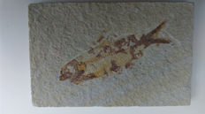 Fossil fish with party preserved scales - Knightia sp. - 10 cm