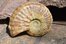 Ammonite fossil - Eucalycoceras 14.5 cm, weight 820 grams