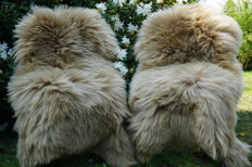 Lot with 2 beautiful large XXL - approx. 130 x 80 cm - longhair lambskins/sheepskins in a subtle shade of beige