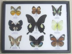 Fine Asian Butterfly display - 32 x 25cm
