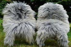 Lot of 2 beautiful large XXL long hair lambskins / sheepskins in a mottled gray colour