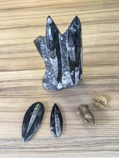 Orthoceras fossils of 20, 10 and 8 cm and a large Tribolite of 7 cm
