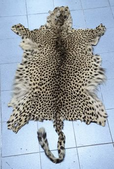 Taxidermy - Angolan Cheetah skin, with head - Acinonyx jubatus - 204 x 83 cm - 875 g - Article 10 Number PT/C-1576/2007