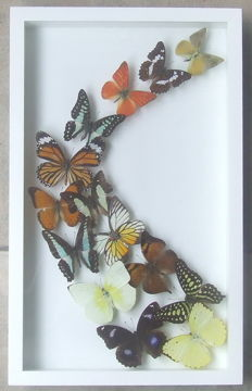 Interesting Exotic Butterfly frame - Lepidoptera - 39.5 x 24.5cm