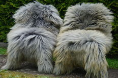 Lot with 2 beautiful large XXL - 130 x 80 cm longhair lambskins/sheepskins in mottled grey colour