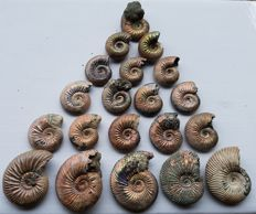 """Nice collection of 20 Ammonites - """"excellent Nacre""""  - Quenstedtoceras sp."""