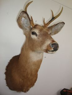 Good quality vintage taxidermy - White-tailed Deer shoulder-mount - Odocoileus virginianus - 70 x 30 x 55cm - 2.9kg