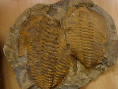 Very beautiful 3-ply Trilobite from Morocco - approx. 21 x 14cm/ 19 x 14cm/ 20 x 15cm