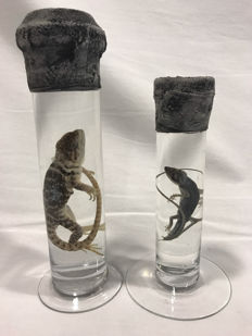 Interesting set of Lizards in formaldehyde - Common Collared and Carolina Anole - Crotaphytus collaris and Anolis carolinensis - 18 to 24 cm  (2)