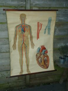 Anatomical wall poster: 'The skin' and 'Circulation'