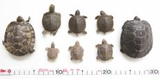Trachemys, Chrysemys and Trionyx turtles preserved in alcohol - 4 to 8cm  (8)