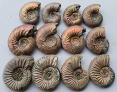 """Nice collection of 12 Ammonites - """"excellent Nacre""""  - Quenstedtoceras sp."""
