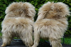 Lot with 2 beautiful large XXL - 130 x 80 longhair lambskins/sheepskins in a subtle shade of beige