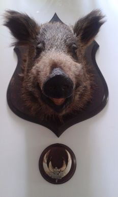 Taxidermy - fine Wild Boar mount, with tusks - oak shield, annotated on reverse - Sus scrofa - 62 x 42 x 42cm