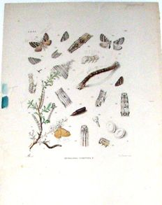 Page from 'Thieme's vlinderboek (butterfly book)';  Proof in watercolour - ca 1890