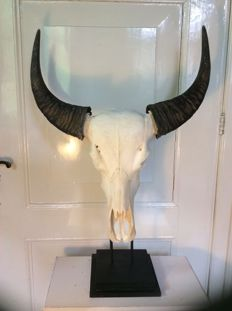 Magnificent genuine water buffalo skull on a pedestal