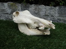 Nicely patinated African Warthog skull - Phacochoerus africanus - 14 x 28 x 14cm