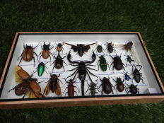Interesting display case, filled with Exotic Insects - 35 x 20cm