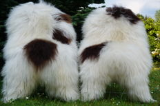 Unique pieces - two large XXL - genuine - white / brown longhair Iceland sheepskins/lambskins