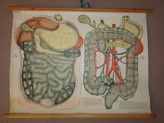 Three pretty Anatomical school posters / school maps of P. Dybdahl (The Digestive organs 1, respiratory organs, digestive organs 2 and larynx)