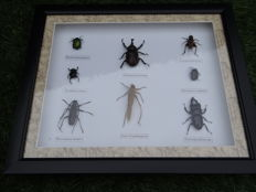 Fine, deluxe display case of Exotic Insects - 28 x 33cm