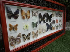 Extra large, Oriental-style wall-hung display with exotic Butterflies - 92 x 42cm