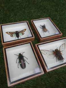 Set of display cases with a variety of Exotic Asian Insects - 12.5 x 15cm  (4)