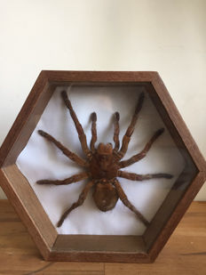 Bird-eating Spider in custom- glazed, standing or hanging display case - Theraphosidae sp. - 21.5cm