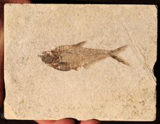Fossil Fish - Exceptional preservation - Diplomystus dentatus - 9.4 cm - Bones and fins visible - Plate of 15.5 x 12 cm -