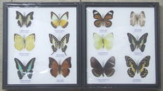 Fine pair of Exotic Butterfly frames - 25 x 22cm  (2)