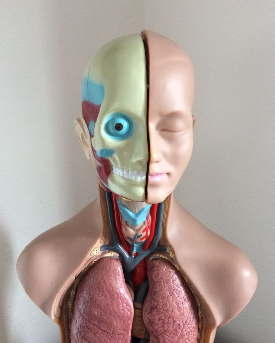 Edu Toys Plastic Anatomical Model With Removable Bodies Catawiki