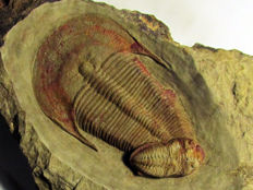 Very nice trilobite association - Harpides cf. grimmi and Ormathops cf. Clariondi - 6,5 & 2,7 cm