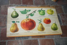 Cardboard school poster with different apple varieties