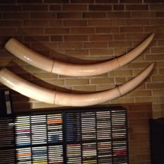 Fine pair of African Elephant Tusks - Loxodonta africana - 165 and 156cm - 34.5kg - CITES Article 10 No. EU 0303-0547/17