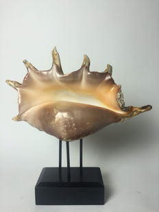 Large Giant Spider Conch shell on base - Lambis truncata - 37 x 35 x 10 cm