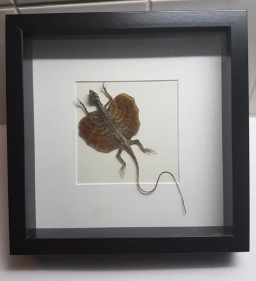 Taxidermy - Common Flying Dragon - Draco volans - in 3-D case - 25 x 25cm for sale