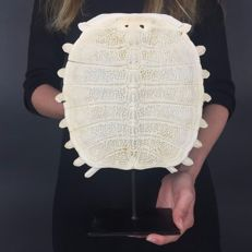 Chinese Softshell Turtle carapace skeleton, with stand - Pelodiscus sinensis - 30.5 x 23.5cm
