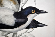 6 ornithological prints by Prideaux John Selby (1788-1867) - 'IIlustrations of Ornithology' (from 1826 to 1843) part II