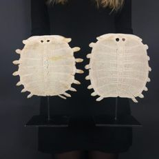 Fine pair of Chinese Softshell Turtle carapace skeletons, with stands - Pelodiscus sinensis - 23 x 19cm  and 25 x 20.5cm  (2)