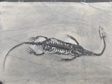 Swimming reptile - Keichousaurus hui - 14.3 cm (19 cm in stretched position)
