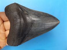 Large fossil shark tooth - C. megalodon - 12.8 cm