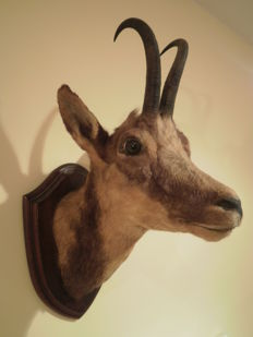 Antique taxidermy - Chamois trophy on hardwood shield - Rupicapra sp- 45 x 35 x 22cm - 2.6kg