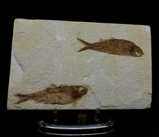 Double fish on the same plate - Knigthia eocaena - 18.5 x 12 cm