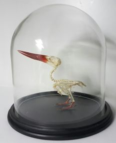 Javan Kingfisher - articulated skeleton in glass dome - Halcyon cyanoventris - 22 x 23cm