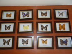 Fine set of Exotic Butterfly display cases - 16 x 12cm  (12)