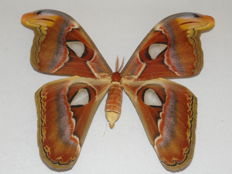 3-D framed, male Atlas Moth -  the world's largest moth - Attacus atlas - 40 x 33cm