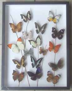 Finely presented Butterfly display - 45 x 34cm