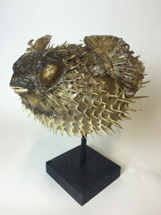 Large preserved Porcupinefish mounted on a walnut base - Diodontidae sp. - 49 x 40 x 38 cm